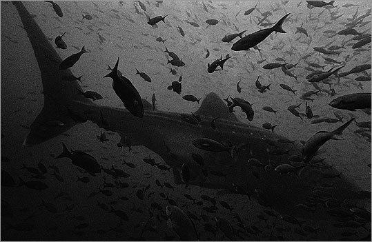 """""""Whale Sharks"""" by Karen Glaser"""