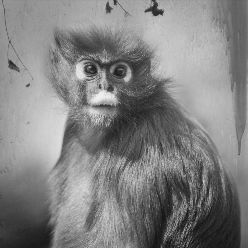 Anne Berry - Spectacled Langur