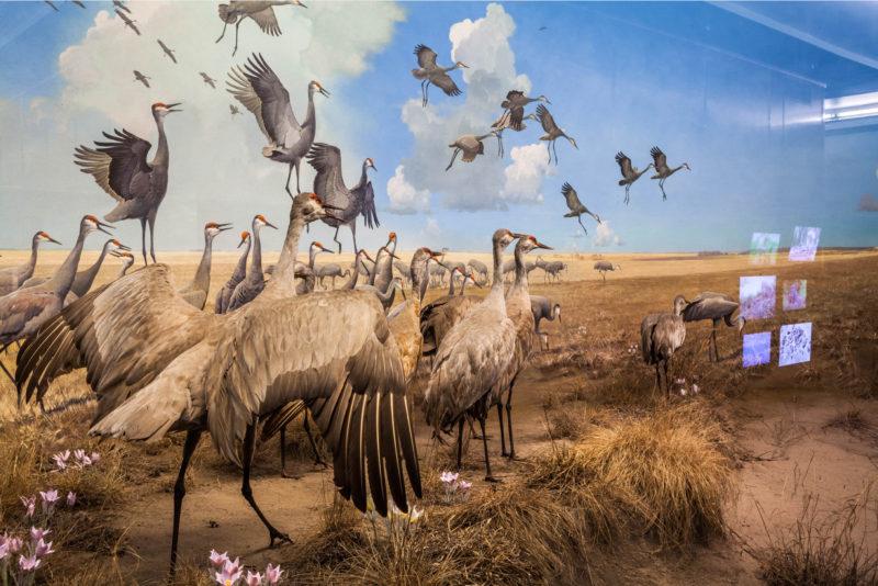 diane-fox_flock-bell-museum-of-natural-history-minneapolis-minnesota-2016
